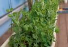 いたぷらコンポスト#38熟成たい肥で種まき③