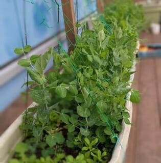 いたぷらコンポスト#39熟成たい肥で種まき④えんどう豆誘引