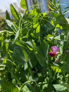 いたぷらコンポスト#43熟成たい肥で種まき⑤えんどう豆の花