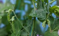 いたぷらコンポスト#45熟成たい肥で種まき⑥えんどう豆の実
