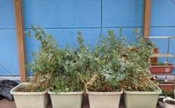 いたぷらコンポスト#48熟成たい肥で種まき⑥えんどう豆栽培結果
