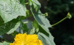 グリーンカーテン2021#2ゴーヤとヘチマの花