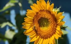 いたぷらコンポスト2021#3生ごみたい肥で花を育てる