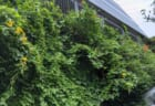 いたぷらコンポスト2021#5グリーンカーテンの花